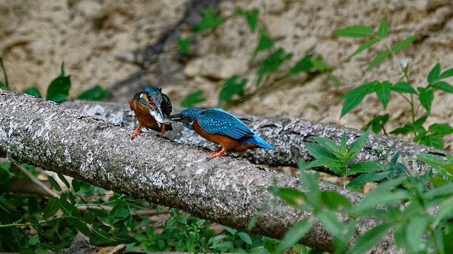 Kingfishers : the feeding