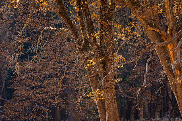 Black Oaks, Autumn  -  Yosemite NP  (2019)