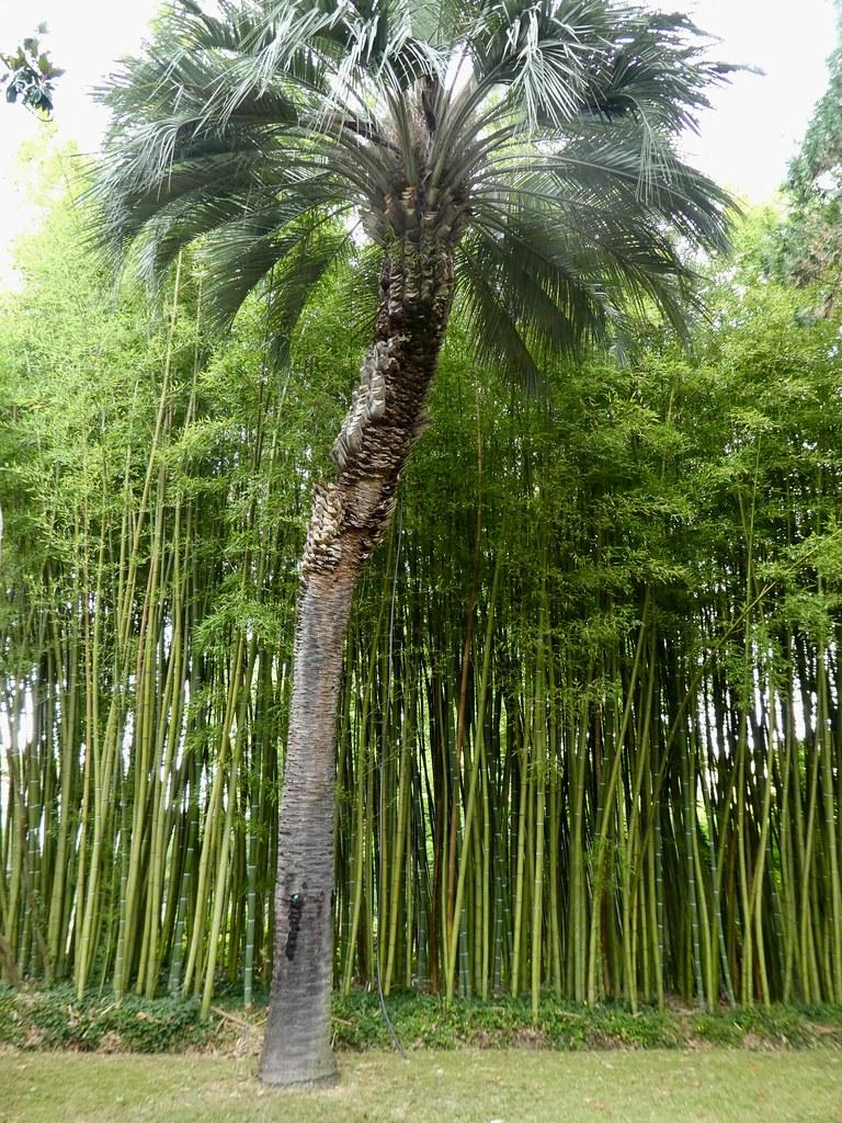 Bambu di Kebun Raya Pisa