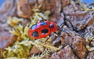 Endomychus coccineus (False Ladybird)