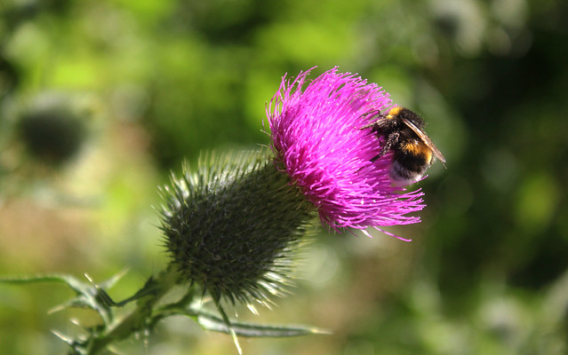 Russian Federation, Nature of Moscow, the Shaggy Bumblebee on the Flower of Thistle in the small City Park near Novodevichy Convent, Novodevichy Passage, Khamovniki district.