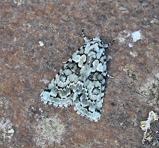 2295 Marbled Green (Nyctobrya muralis)