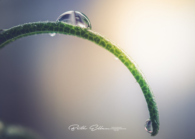 ~There is an eternal love between the water drop and the leaf. When you look at them, you can see that they both shine out of happiness.