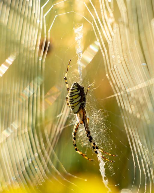 Wasp spider - argiope bruennici