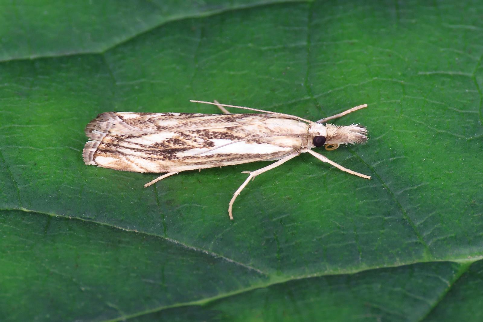 63.102 Chequered Grass-veneer - Catoptria falsella
