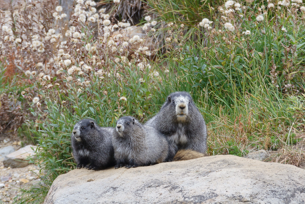 Three hoary marmots, one adult and two juveniles, sit on a large rock near the Skyline Trail in the Paradise area of Mount Rainier National Park. Original: _MG_6510.cr2