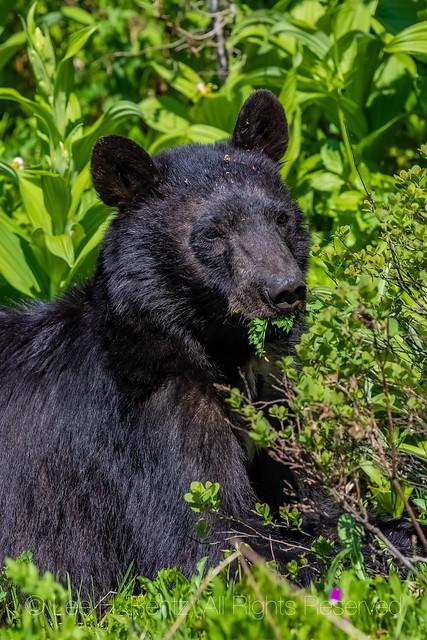 Black Bear Eating Lovage at Mount Rainier