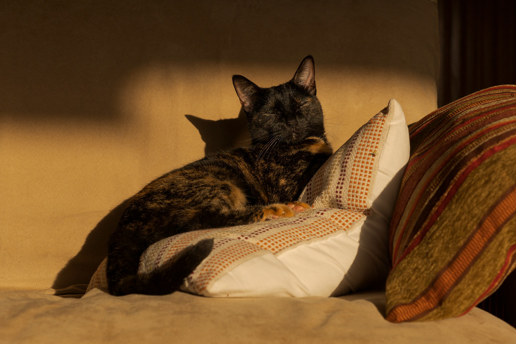 Our cat Trixie sleeps in a regal position atop pillows on the futon as the evening light falls upon her in February 2020. Original: _CAM9976.arw