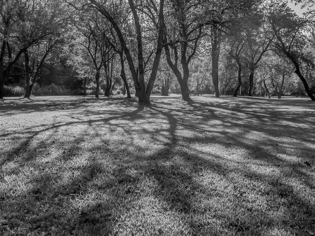 Morning Shadows In The Orchard