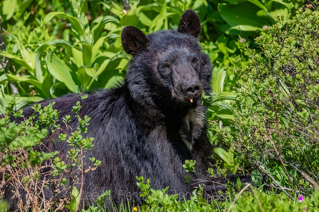 Black Bear Eating Lovage at Mount Rainier