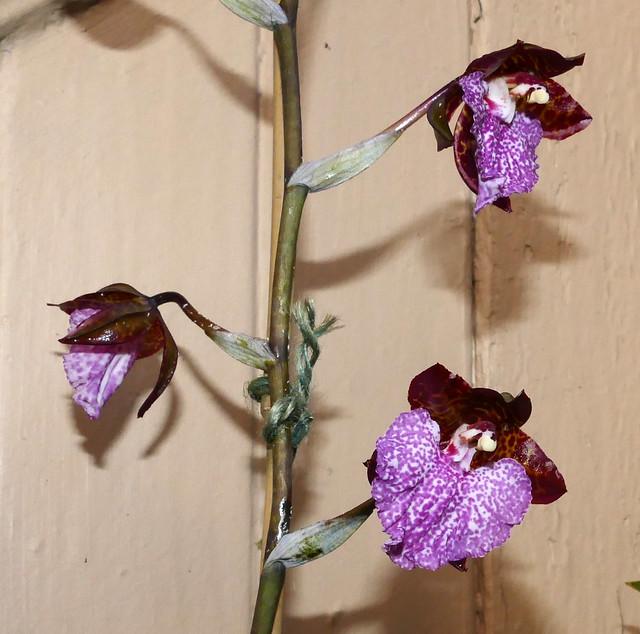 Rhynchostele uro-skinneri species orchid