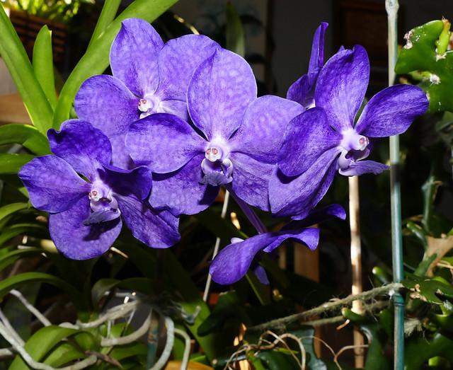 Vanda Unknown [Fire] hybrid orchid 7-20