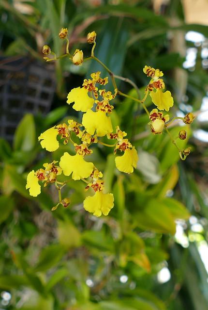 Oncidium flexuosum species orchid 7-20