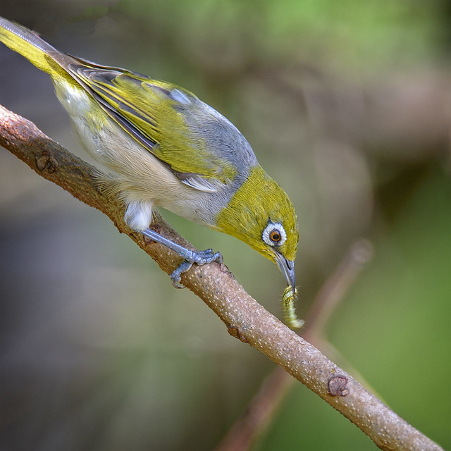 in the thicket - a silivereye