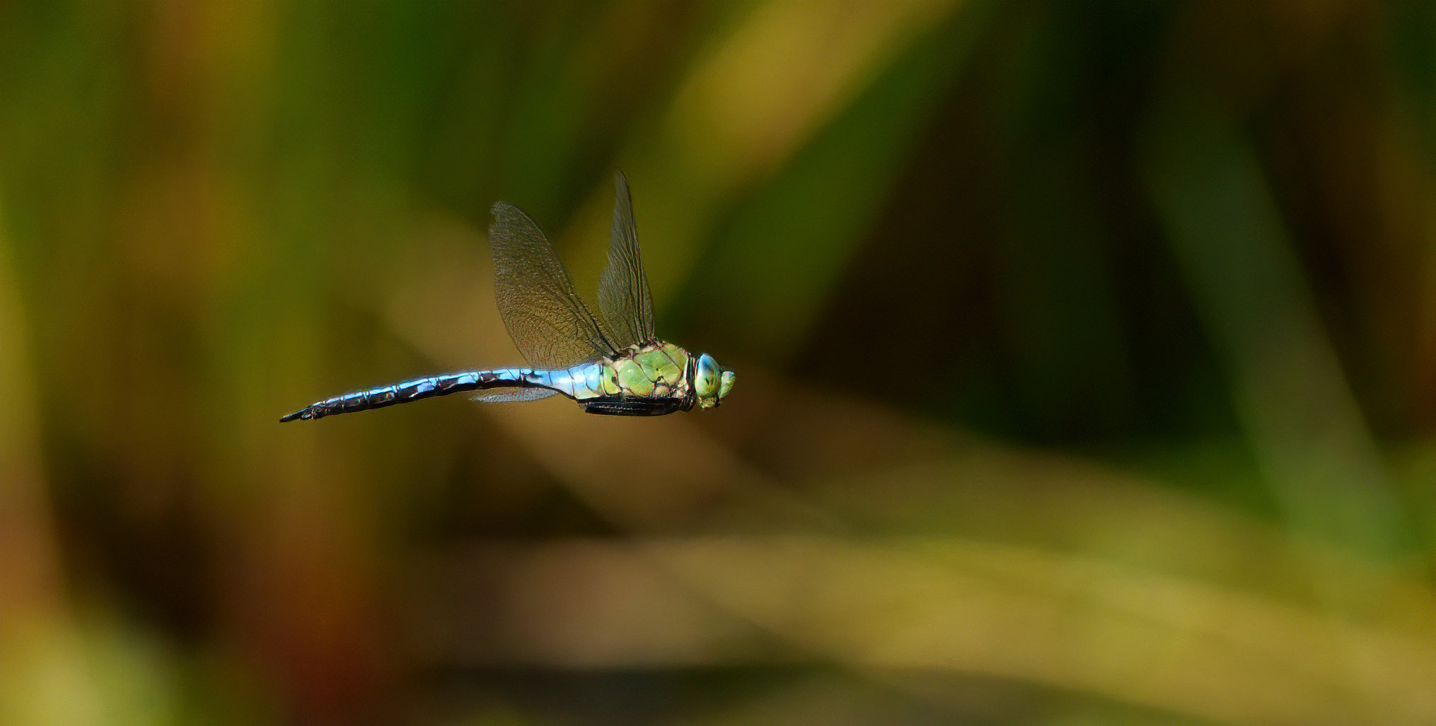 Emperor Dragonfly [rarely perches - messing with AFs]