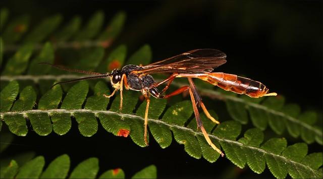 Ichneumon Wasp - Amblyjoppa fuscipennis
