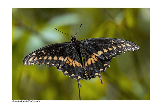Well worn eastern black swallowtail
