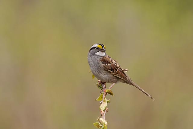 White-throated sparrow, Ontario, Canada