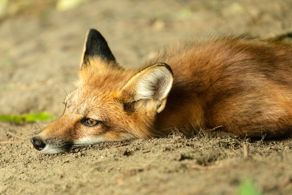 Contemplative Red Fox Kit