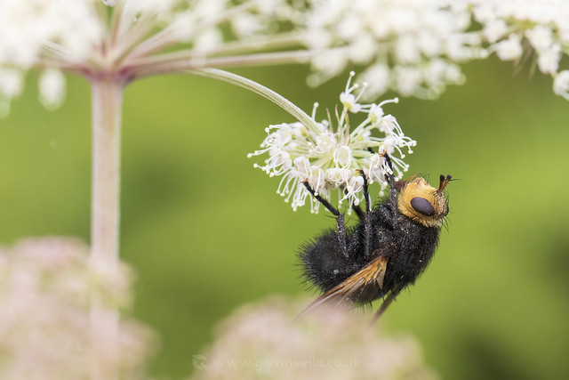 Tachina grossa W- SR1A1553