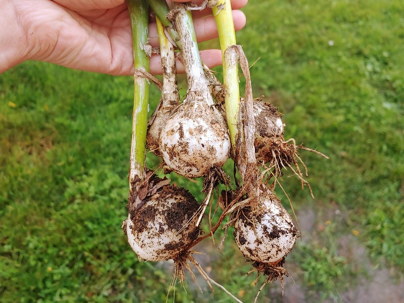 Harvesting Bolted Onions