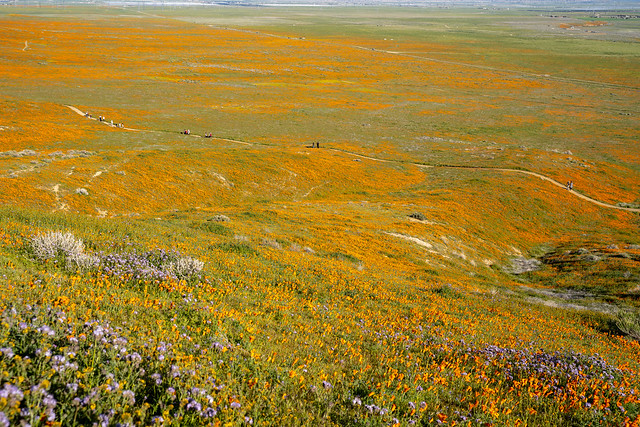 Extreme wide angle view of the Antelope Valley Poppy Reserve poppies wildflower field during the superbloom