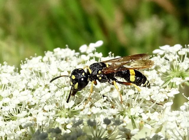 Aug10,2020 DSC01993 Possible Potter Wasp subfamily Eumeninae