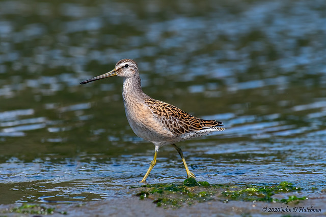 Short-Billed-Dowitcher-(Shorebird)