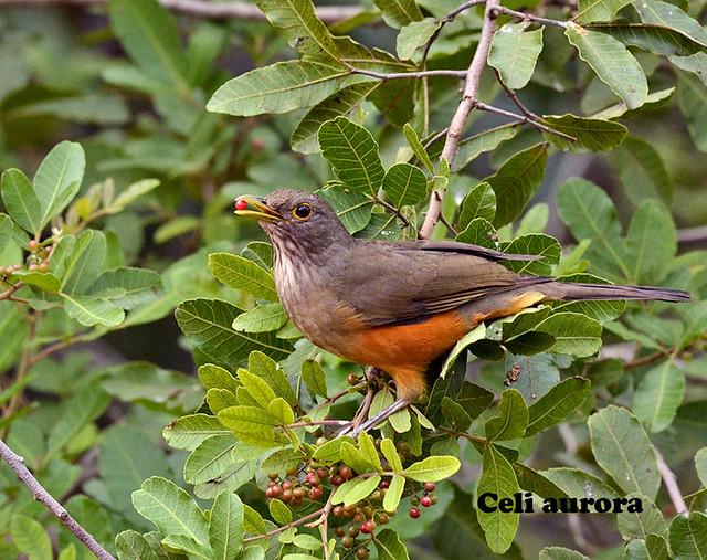 Sabiá laranjeira - Turdus rufiventris - Rufous-Bellied Thrush 46