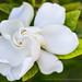 Gardenia & Leaves, 6.15.17