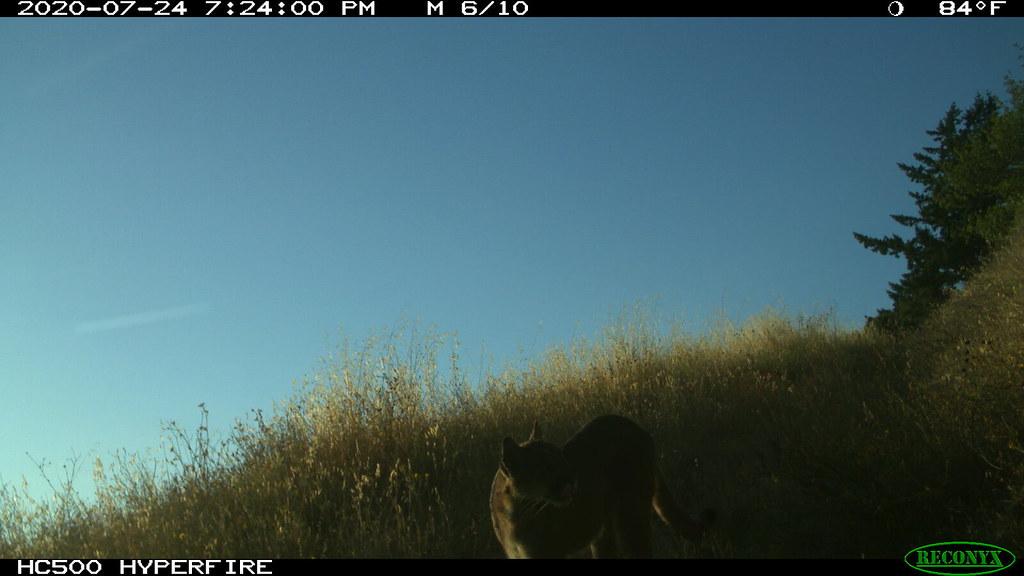 6 of 11 on 2020-07-24 @7:24pm Mountain Lion; motion-sensor camera