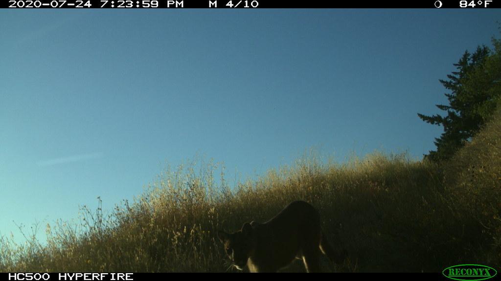 4 of 11 on 2020-07-24 @7:24pm Mountain Lion; motion-sensor camera