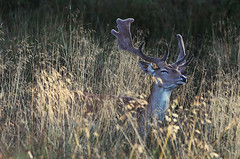 Buck in Grass
