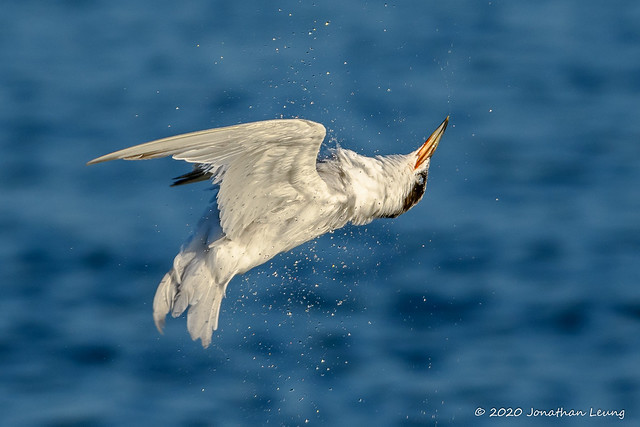 Another beautiful head turn (Forster's Tern). I am lucky to get 2 terrific head turn shots in a week.