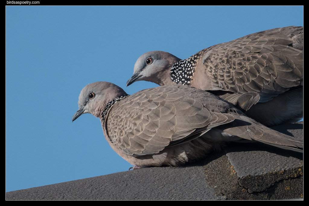 Spotted Dove: Aghast