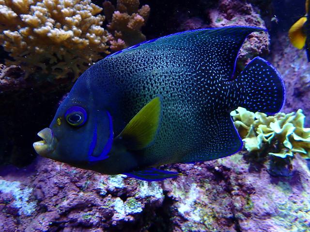 Pomacanthus semicirculatus - Poisson-ange à demi-cercles ou Poisson-ange bleu - Semicircle angelfish or Blue anglefish or Half-circled angelfish or Koran angelfish or Zebra angelfish - 12/10/19
