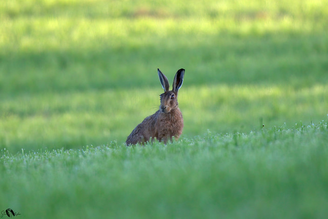 Brown Hare at sunrise