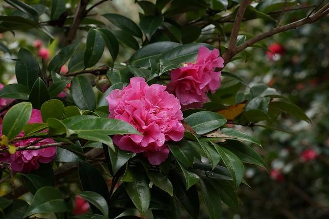 Camellia in Tamborine