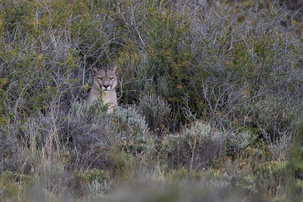 Puma - Puma concolor concolor