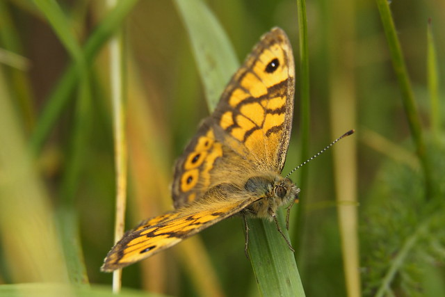 Wall Brown 1