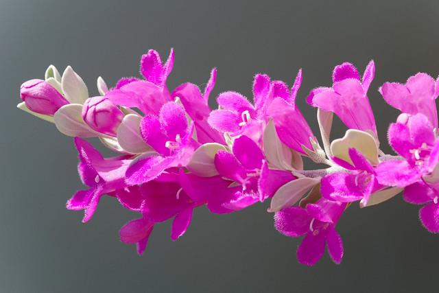 leucophyllum frutescens flower