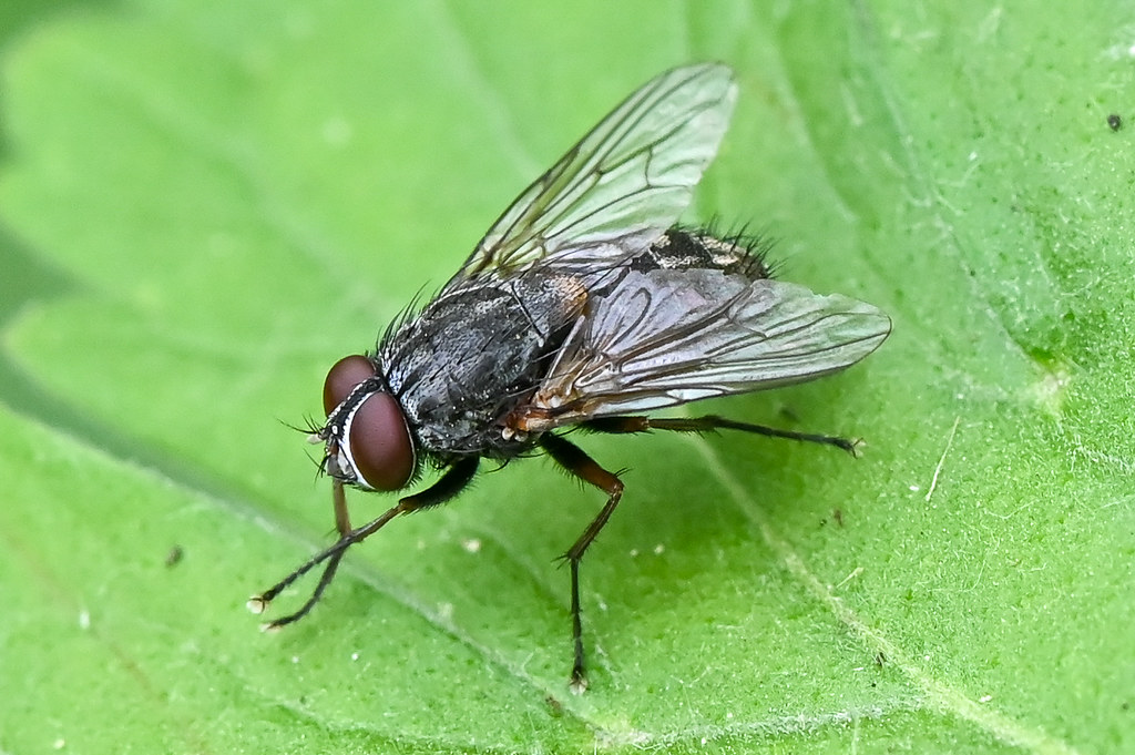 Muscina stabulans  --  Fly  --  Mouche