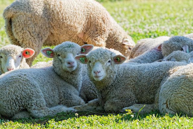 Sur leurs pattes ou couchés, dans l'ombre ou la lumière, çà reste des moutons !