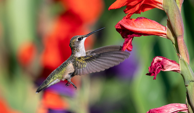 Female Ruby Throated Hummingbird with Gladiolas