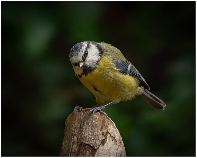 Back Garden Bluetit