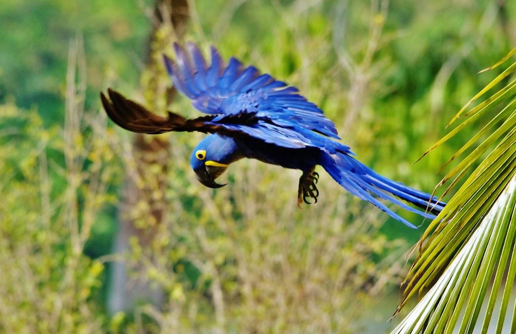 Hyacinth Macaw Taking Off (Anodorhynchus hyacinthinus)
