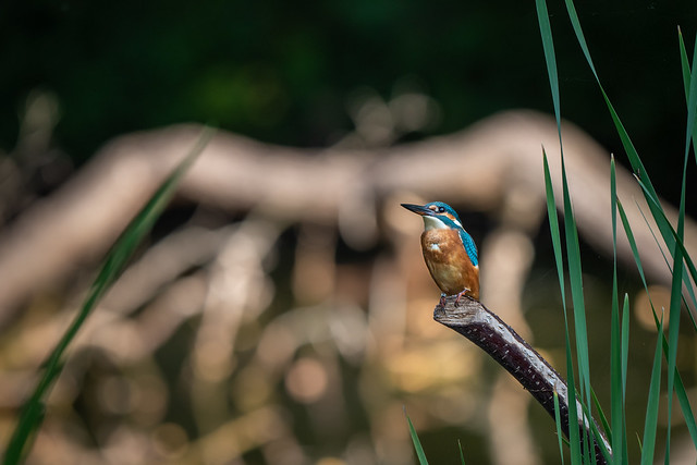 Kingfisher waiting for me