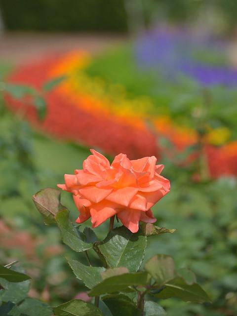 レインボー花壇とバラ