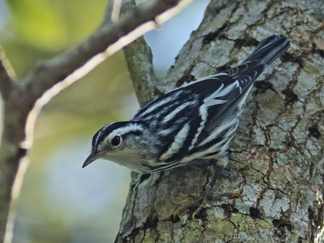 Black-and-White Warbler 03-20200811