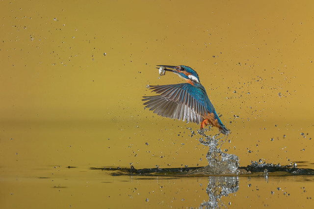 R20_3671-2 Diving Kingfisher